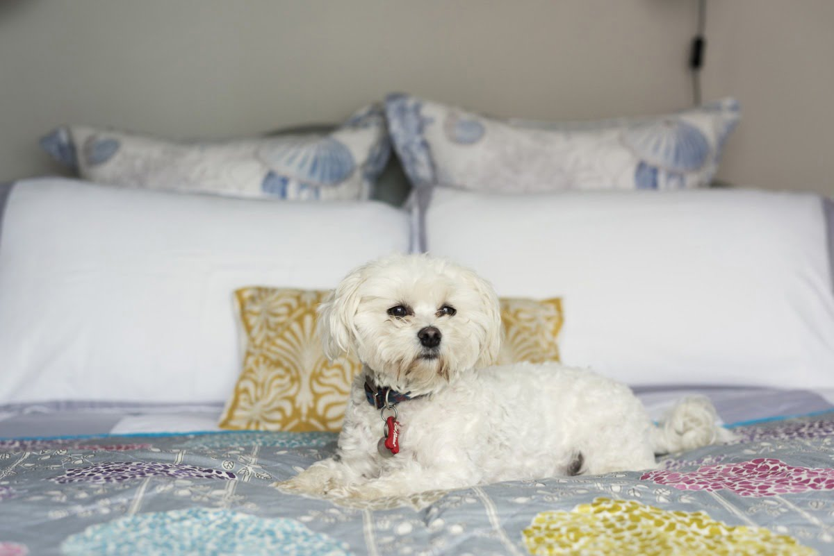 White dog looking at something on bed