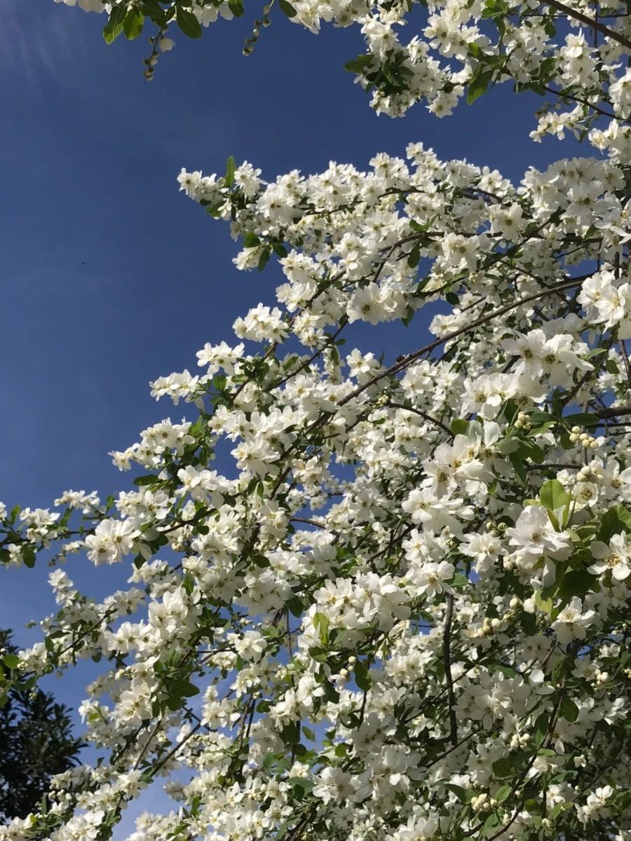 White blossom on trees